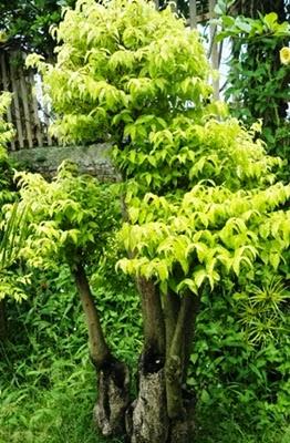 tanaman yang bagus untuk taman jual rumput gajah mini