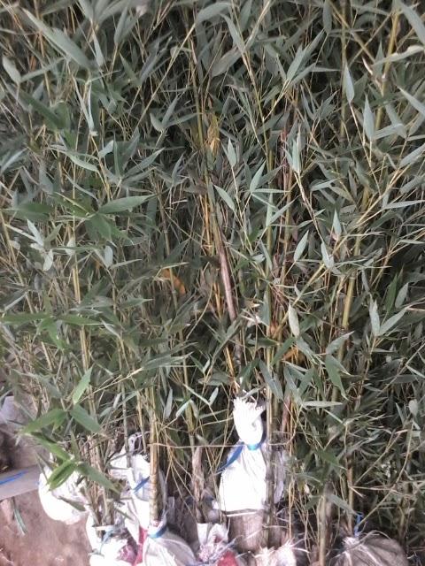 bambu untuk pagar Jual Rumput Gajah Mini Rumput Jepang